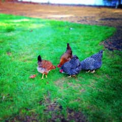 Chicken girls - Lucy, Ethel, Carol and Alice