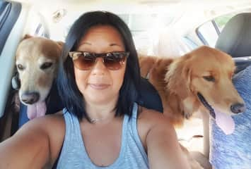 Flanked by Goldens enroute to a beach day.