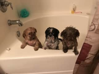 My three spoiled rotten shin tzus on spa day.