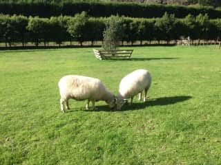 2 pets hand-reared from birth in one of our paddocks