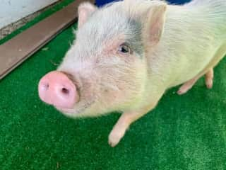 Petunia, our other mini pig.  Just 24 lbs and loves belly rubs.
