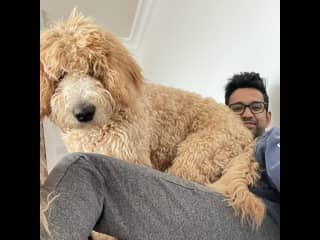 Waffles will force his snuggles onto you. He is the world's largest lap dog.