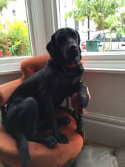 Woody a very energetic  15 month old Black Lab who just loves to play.