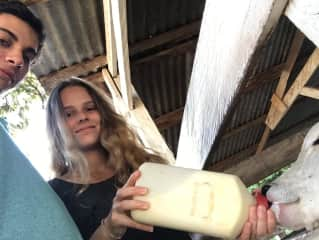 Milking young cows at the farm