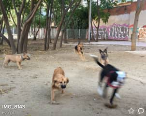 I love this image! The dog at the front left is Nalla, a Pyrenean Shepherd Dog. She is 7 months old. We took her to a dog park in Barcelona so she could play with lots of other dogs in the safety of a large compound.