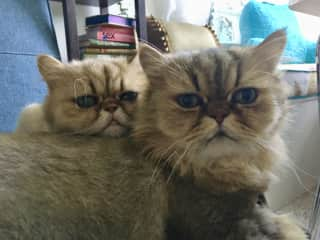 Golden Persian siblings Roxy & Remy from Palm Springs, California (2017)