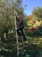 Picking olives in Muggia.