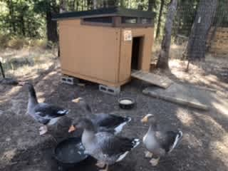 French Toulouse Geese...Gaston, Bijou, Audrey, and Belle