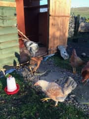 We have six hens and so you should get at least a couple of eggs a day for your breakfast