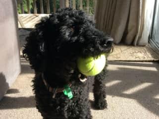 Ben our poodle again