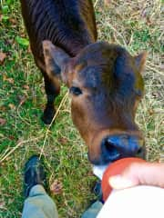 Bottle feeding an abandoned calf we named Clover, on our farm. She's grown into a beautiful cow and has offspring of her own.