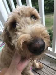 Oliver, Mr. Sweet Face, the sweetest caring golden doodle.