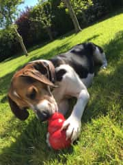 Penny with her kong!
