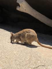 A random Wallaby.