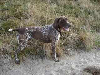 Ollie, our German shorthaired pointer in New Zealand