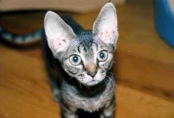 Asia's cat Sylvia - a Devon Rex (Now in spirit, passed at age 17)