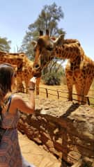 Feeding the Giraffes in Kenya