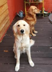 Jessie (light color golden in front) and Mika (darker golden in the background)