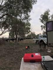 Droving in Australia