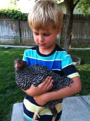 A boy and his chicken, Fertilize the Barred Rocks hen.