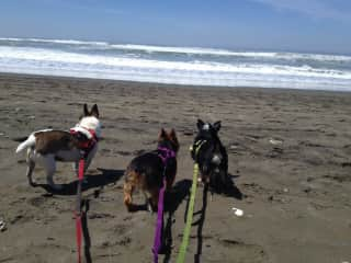 Tweety, Abby and Sporty at the Ocean Beach, CA 2014.