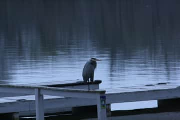 Heron on our dock