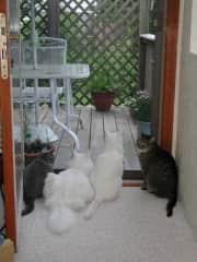 Pushkin Gatsby Beau-kitty Nicky