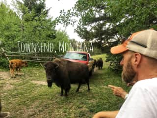 Daily check-in on a herd of 60 bison during a ranch sit in Montana