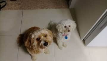 Our toy poodle Molly, with her best mate Charlie, who we often sit.
