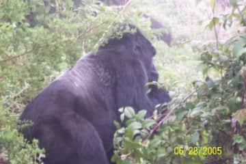 A photo I took while gorilla trekking in Rwanda! Amazing!