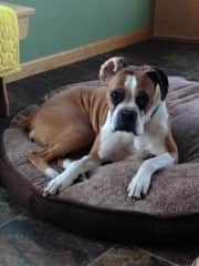 Lacie, 11 year old boxer whom I had never met before taking her for 8 wks