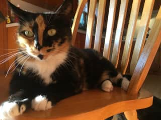 Luna is our sassy girl and has been with use since July 2016. Loves humans. Eh on other cats - she has her days.