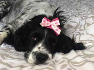 Pingu (12), my cocker spaniel, just loving the tuft bow - not! Lives with my parents when I'm living and working away.