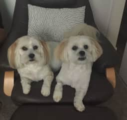 The Boys- 5 year old  Lhasa Apsos