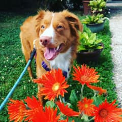 Piper likes to smell the flowers! She loves walking around our neighborhood smelling everything!