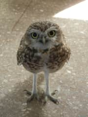 Taking care of Lechus (an injured owl)