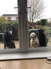Our latest doggy Ivy (Middle!), and her doggy cousins, at my parents' in England
