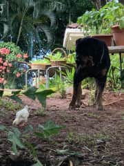 Curious but gentle with chickens