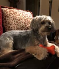 This is Hank.  He is a 7 year old Yorkie/Terrier mix.  A ball of energy but happy to sit on the recliner footrest with you.