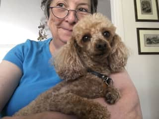 This is Ziggy, male toy poodle, who has had several extended stays with us over 2019/20!