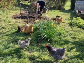 The chickens LOVED me turning the soil: lots of worms to be found... The worms weren't  quite as pleased... ;-)