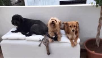Babysitting these 3.  Rufus, Dixie and Leya xxx