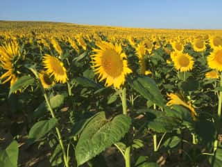 Sunflower country