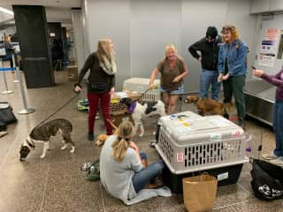Escorting the Baja Dogs La Paz rescues to meet their new owners at SeaTac airport