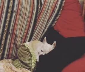 Chihuahua Cloe