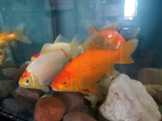 Did you know that goldfishes can grow over 12 inches? I had my 4 goldfishes since they were the size of a quarter. These goldfishes were .39 cents and now they are required to be in a 135 gallon. I'll be having them for hopefully the next 20 years!