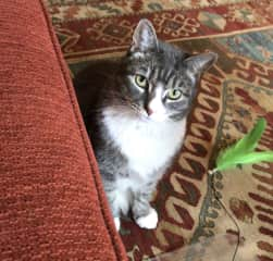 """Bootsie LOVES playing with """"feather monster""""!"""