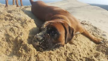 Blue loves to roll around in the sand when he's at the beach, he just loves going out on his walks.