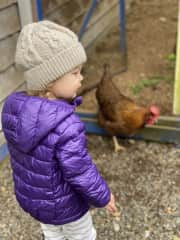 Granddaughter letting the chickens out to graze.