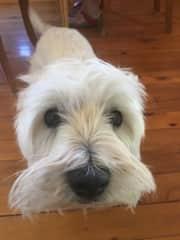 Fergus the West Highland Terrier from Orange NSW